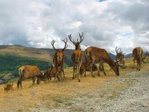 deers Стоковые Изображения RF