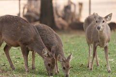 deers Photos libres de droits