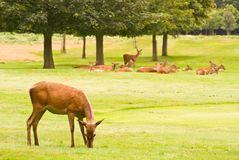 Deers Royalty Free Stock Image