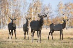 deers Royaltyfria Foton