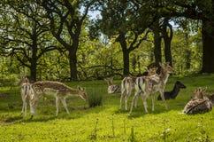 deers 库存照片