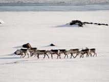 deers Lizenzfreie Stockbilder