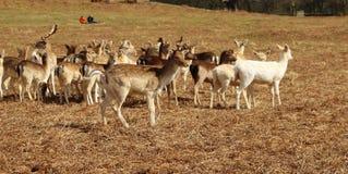deers 库存图片