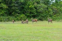 deers Стоковая Фотография