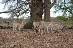 deers Στοκ Εικόνα