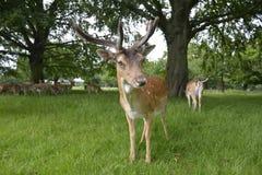 deers Στοκ φωτογραφία με δικαίωμα ελεύθερης χρήσης