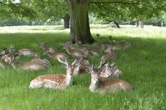 deers Στοκ φωτογραφίες με δικαίωμα ελεύθερης χρήσης