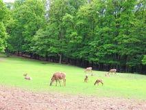 deers Stockfotografie