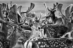 deers Lizenzfreies Stockbild
