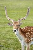 deers Stockfoto