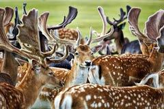 deers Stockbild