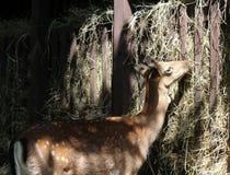 deers 免版税库存照片