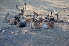 Deers Stock Photo