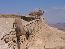 Deers au cratère de Ramon (Makhtesh), Israël Photos stock