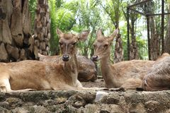 Deers in Bali Zoo, Indonesia. Deers lying on the ground in a Bali Zoo, Indonesia. Close up royalty free stock images