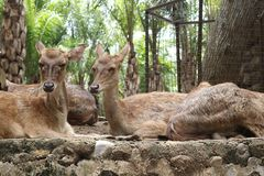 Deers in Bali Zoo, Indonesia. Deers lying on the ground in a Bali Zoo, Indonesia. Close up royalty free stock photography