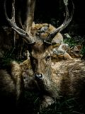 Deers with beautiful horns with dark tone. Portrait of a deer with beautiful horns in a park with dark tone stock images