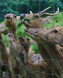 Deers behind wired cage. Eating greens royalty free stock photography