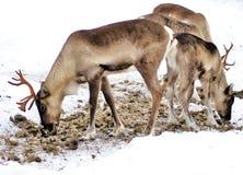 Deers betar för mat i den kalla vildmarken av snöig Lapland Finland Arkivbilder