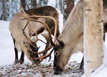Deers betar för mat i den kalla vildmarken av snöig Lapland Finland arkivfoto