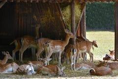 Deers bij het voeden van plaats Stock Afbeelding