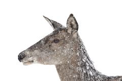 Deers during the heavy snowing in the winter snow Royalty Free Stock Photography