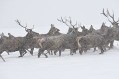 Deers during the heavy snowing in the winter snow Stock Images