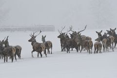 Deers during the heavy snowing in the winter snow Royalty Free Stock Photos