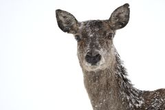 Deers during the heavy snowing in the winter snow Stock Image