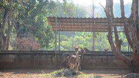 Deers in cage stock video footage