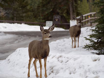 Deers in Canada in winter. Deers at Bow River, Banff Canada in winter stock photos