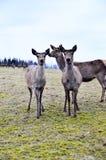 Deers in captivity Stock Photos