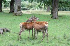 Deers che si leva in piedi insieme Fotografia Stock Libera da Diritti