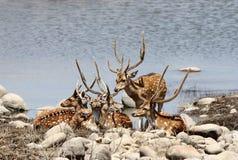 Deers Cheetal κοντά σε μια τρύπα νερού Jim Corbett στοκ φωτογραφία με δικαίωμα ελεύθερης χρήσης