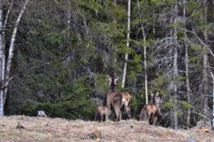 Deers corrientes Foto de archivo