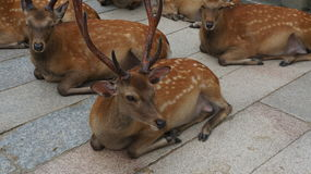 Deers. Cute deers relaxing in the national japanese park in Nara Royalty Free Stock Photos