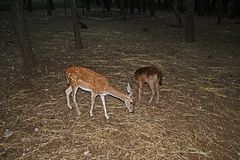 Deers cutura. Baby deers inside the botanical garden la cutura at maglie in italy stock photography