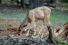 Deers da mula no parque nacional de garganta grande, E Imagem de Stock