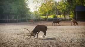 Deers in de dierentuin Royalty-vrije Stock Afbeelding