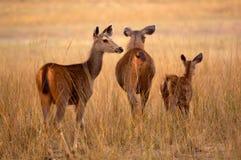 Deers de Sambar Photo libre de droits