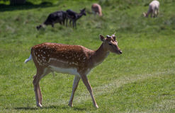 Deers. Deer at Richmond park, London Royalty Free Stock Images
