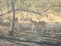 Deers. Deer wildlife inside gir forest Stock Image