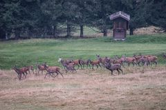 Deers. During ltheir ove season Stock Images