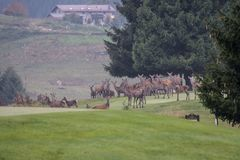 Deers. During their love season Royalty Free Stock Photography