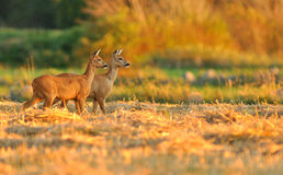 Deers delle uova Fotografia Stock