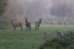 Deers di colore rosso del pacchetto Immagini Stock Libere da Diritti