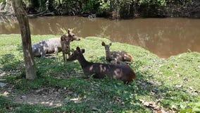 Deers die gras & het slapen eten Geen geluid stock videobeelden