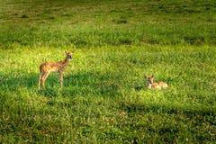 Deers die na een lange dag op een comfortabel grasgebied rusten in zuidelijke Verenigde Staten royalty-vrije stock afbeeldingen