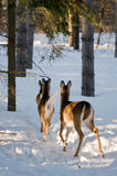 Deers die weggaat Stock Fotografie