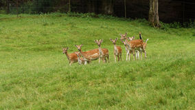 Deers do Fallow Imagem de Stock Royalty Free
